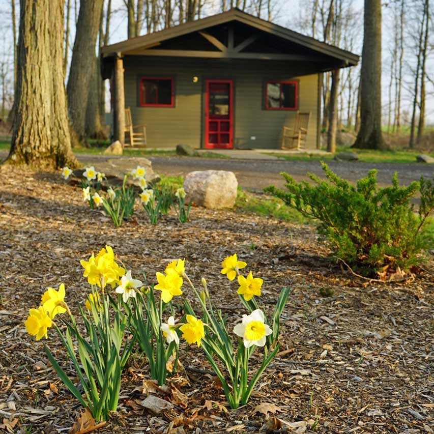 Daffodils in front of Cabin 4