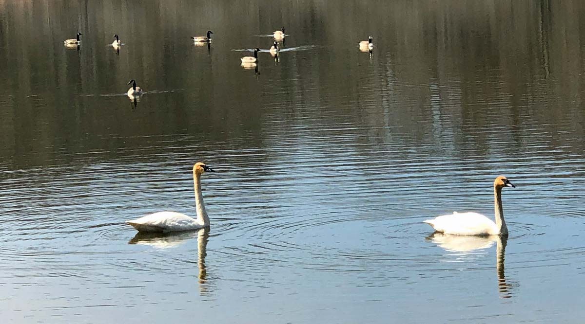 Trumpeter Swans on the lake